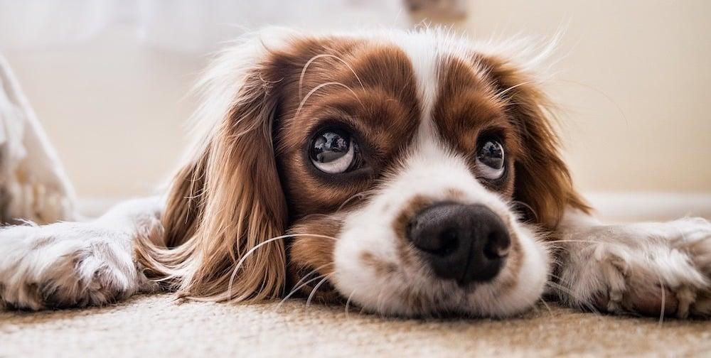 CBD-Öl für kranke Hunde