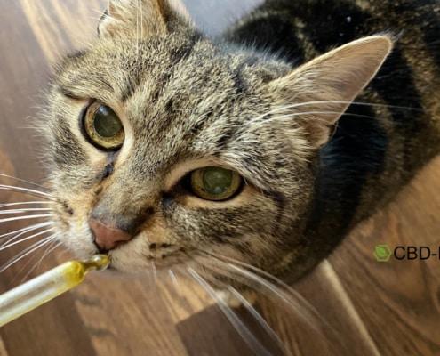 Die Einnahme von CBD Öl für die Katze